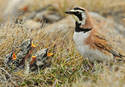 Horned-Lark-and-chicks_Middleton-Evans