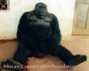 Cameroon, Stop Senseless Killing of Cross River Gorillas - The Petition Site